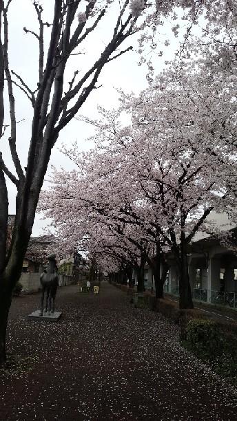 古河の桜②.jpg