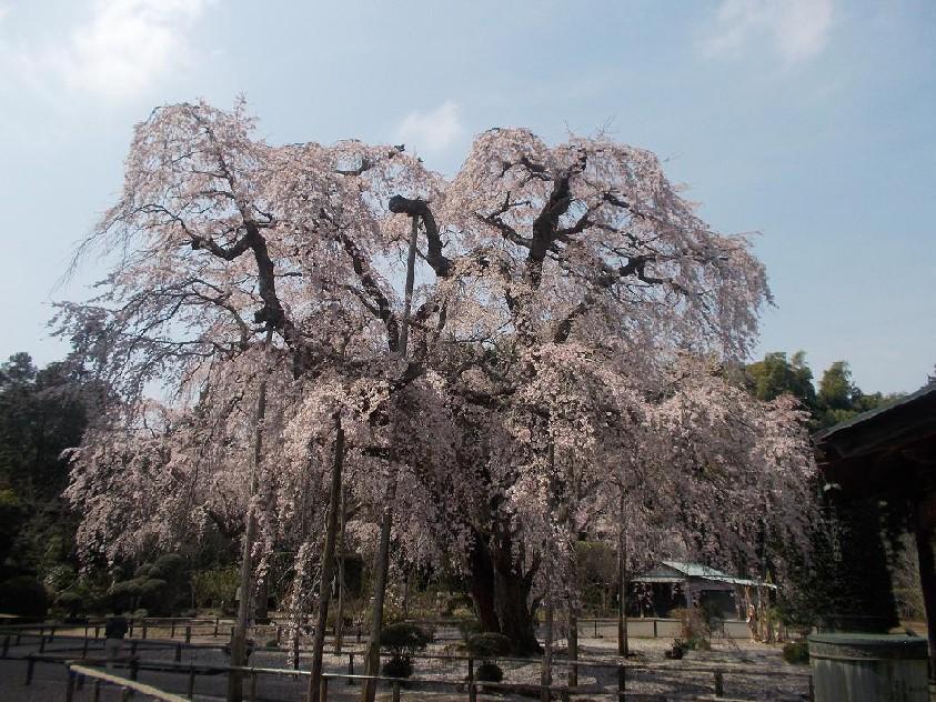 長光寺の枝垂桜.JPG