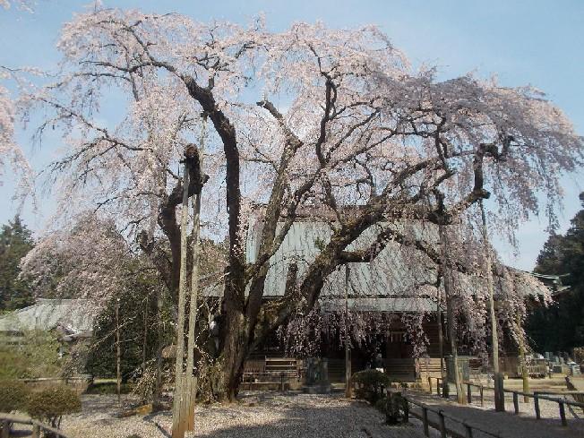 長光寺の枝垂桜②.JPG