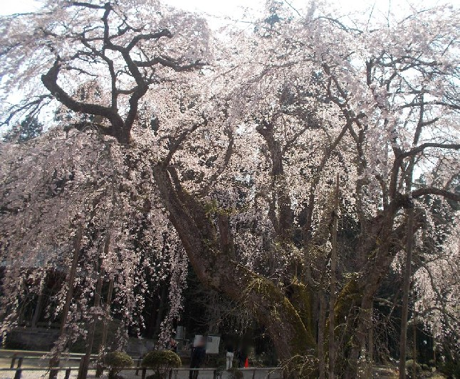 長光寺の枝垂桜③.JPG